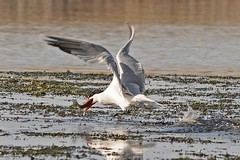 Tern snagging a Bluegill for lunch