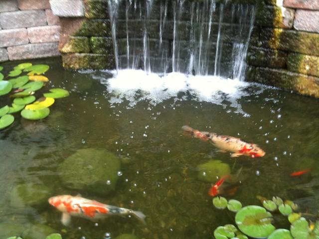 Koi pond explore brownpau 39 s photos on flickr brownpau for Koi pond york