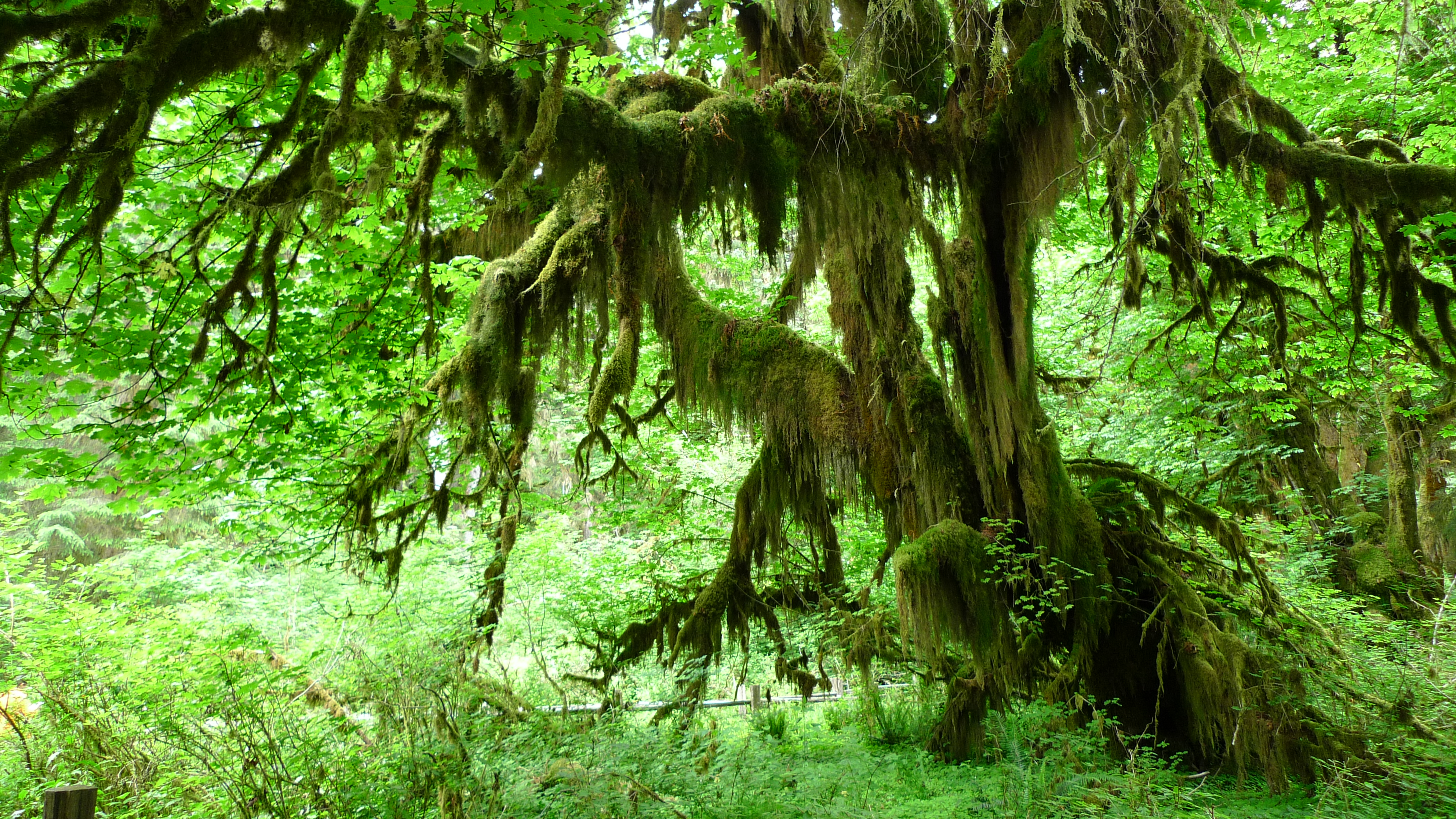 Olympic National Park Hall Of Mosses Flickr Photo