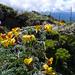Chesneya nubigena - 4400m Shika Mountain, Zongdian (Phillipe de Spoelberch)