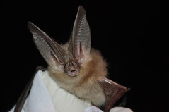 Townsend's big-eared bat