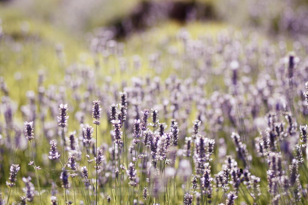 lavender hill farm 15