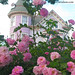 Pink Roses in front of Victorian Home