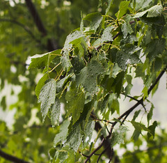 Leaves in Heavy Rain