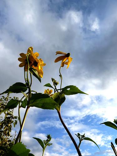 Rudbeckia against the sky