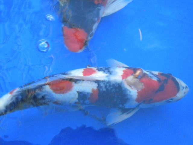 Koi fish in a blue tank flickr photo sharing for Koi fish games