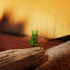 Photograph: [Untitled]; Praying Mantis, Spain, September 2011. By Simon Holliday.