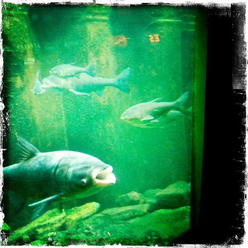 Carp Coming by jmogs via Flickr