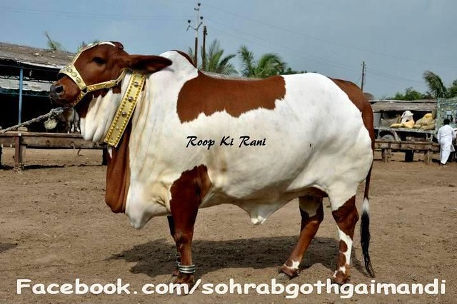 Shah Cattle Farm Cow http://www.flickr.com/photos/67986105@N04/6188559416/