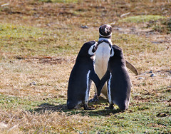 Penquin Wedding? - Magellanic Penquin Colony, Chile