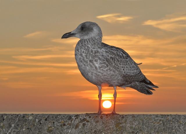 Sunset Herring Gull