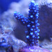 Small photo of Deep Blue Acropora