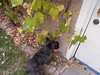 Max searches for grapes by Mom and Fizzgig