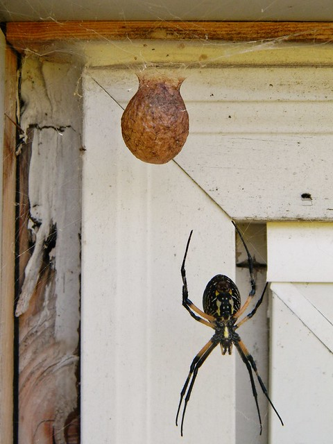 A writing spider and her egg sack flickr photo sharing for Garden spider egg sac
