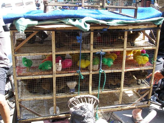 這裡也有售賣一些染上顏料的小雞寵物,非常可愛。
