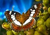 Sweet Butterfly at My Garden  :) feeling Great!!! by Anand Lepcha