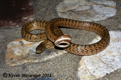 Oligodon formosanus (Taiwan Kukri Snake)