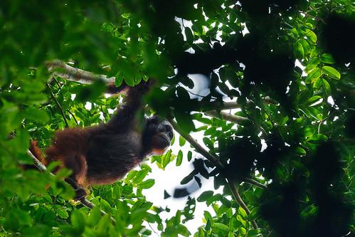 Wild Orangutan