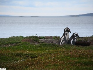 """Together, forever, that's how it should be"" - Magallanes Penguin - Patagônia - Argentina"