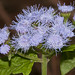 Mistflower - Photo (c) Danny Barron, some rights reserved (CC BY-NC-ND)