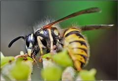 BANDIT WASP 2