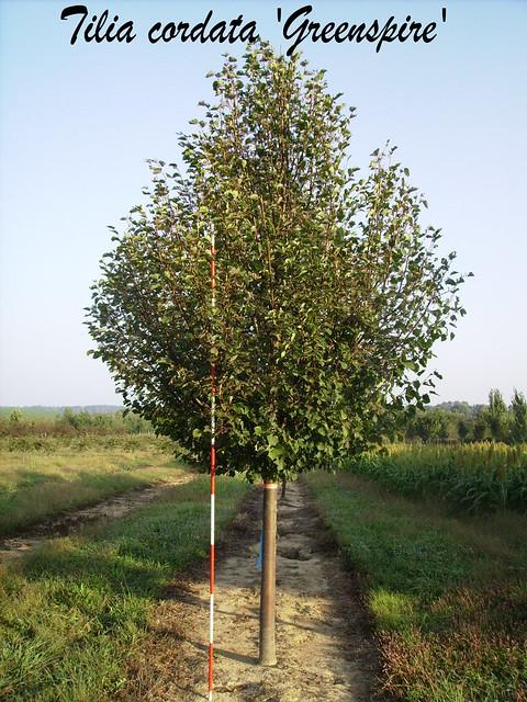 Tilia cordata Greenspire 1