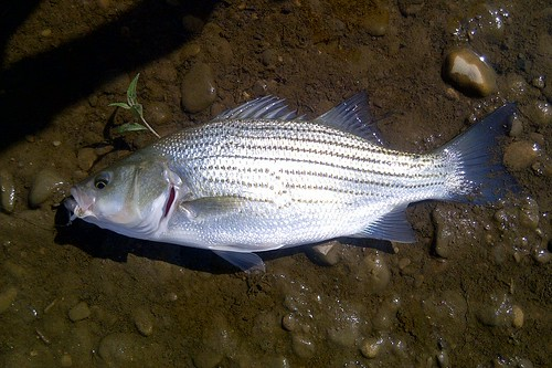 Hybrid Striped Bass - Morone saxatilis X. M. chrysops - Hamilton County, Ohio, USA - September 26, 2011