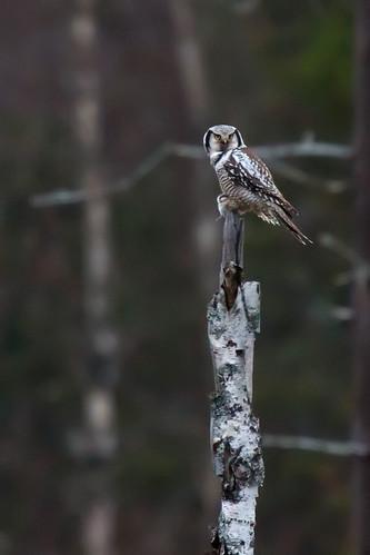 Surnia ulula - Northern Hawk Owl - HökugglaHökuggla