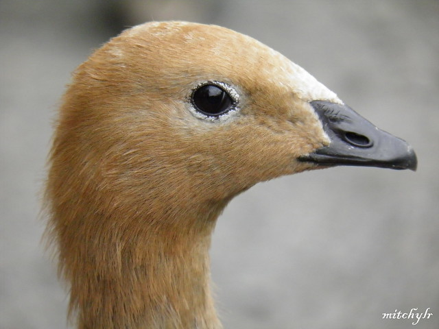 Ruddy-Headed Goose 1