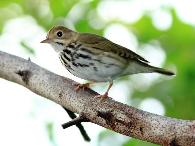 Ovenbird 2-20111020