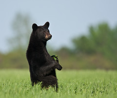 Bear standing in wheat field