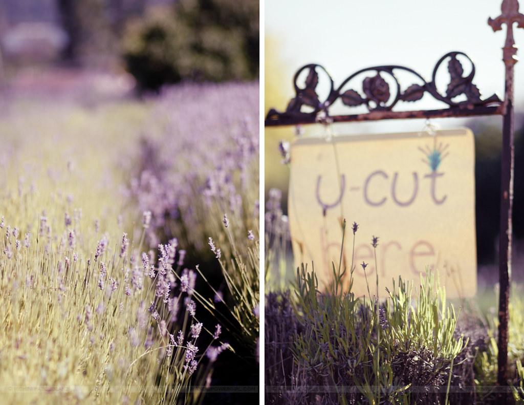 lavender hill farm 14