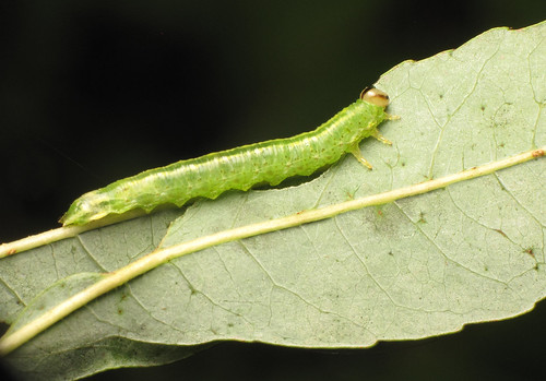 Cryptic caterpillar (underside)