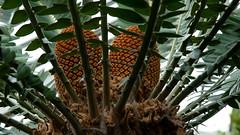 Wood's cycad cones