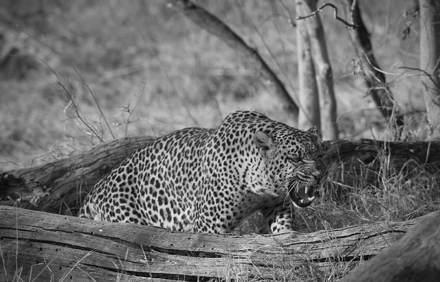 Leopard mono wild