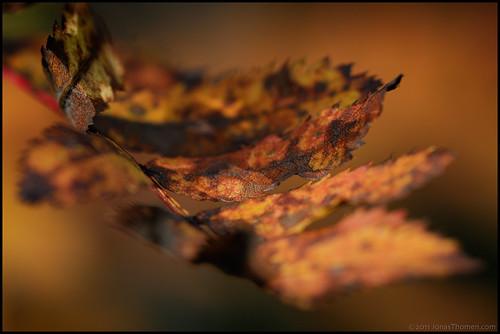 autumn macro fall closeup leaf rust dof colourful makro rost höst närbild löv