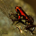 Cauca Poison Frog - Photo (c) Dennis Nilsson, all rights reserved