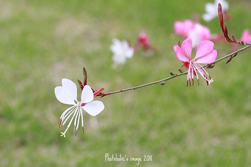 plant nature fower gaura ヤマモモソウ