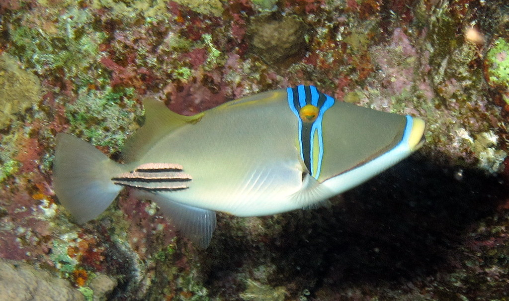 Picassofish (a triggerfish), Rhinecanthus assasi at Abu Dabab Reefs, Red Sea, Egypt #SCUBA