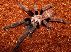 arthropod(1.0), animal(1.0), spider(1.0), invertebrate(1.0), macro photography(1.0), fauna(1.0), close-up(1.0), tarantula(1.0), wolf spider(1.0), wildlife(1.0),