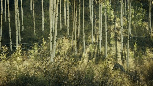light shadow white forest canon colorado afternoon pano aspens trunks groundcover 16x9 2imagestitch t1i boothtrail
