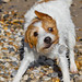 Holly the crooked eye Jack Russell. ! by CWhatPhotos