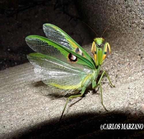 Stagmatoptera hyaloptera .JPG