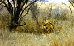 Lion near Satara 2