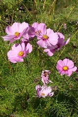 blossom(0.0), annual plant(1.0), flower(1.0), grass(1.0), garden cosmos(1.0), pinkladies(1.0), plant(1.0), wildflower(1.0), flora(1.0), meadow(1.0), cosmos(1.0), petal(1.0),