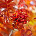Red, only red (mountain ash in autumn)