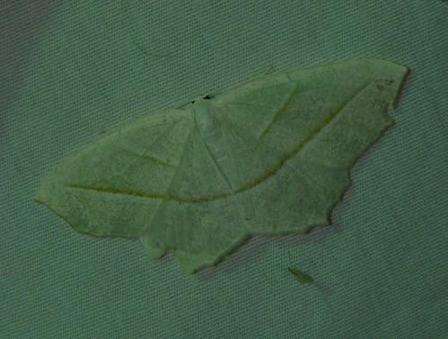 insect newjersey spring moth nj lepidoptera geometridae ennominae arthropoda invertebrate mercuryvaporlamp insecta eastbrunswick middlesexcounty campaeaperlata palebeauty mothlight dallenbachlake campaeini geometroidea friendsoftheeastbrunswickenvironmentalcommission