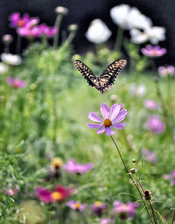 swallowtail and cosmos-2