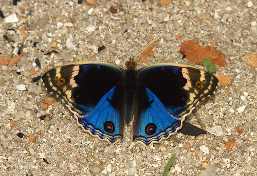The blue Pansy Male blue form