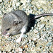 Woodland Jumping Mouse - Photo (c) Stephen Downes, some rights reserved (CC BY-NC)